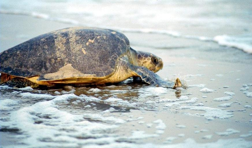 10 places to visit in india before they disappear olive ridley turtles