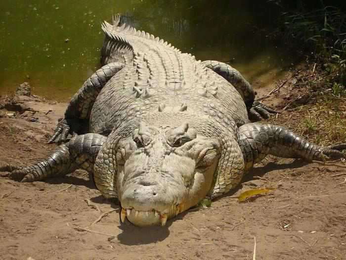 10 places to visit in india before they disappear saltwater crocodile