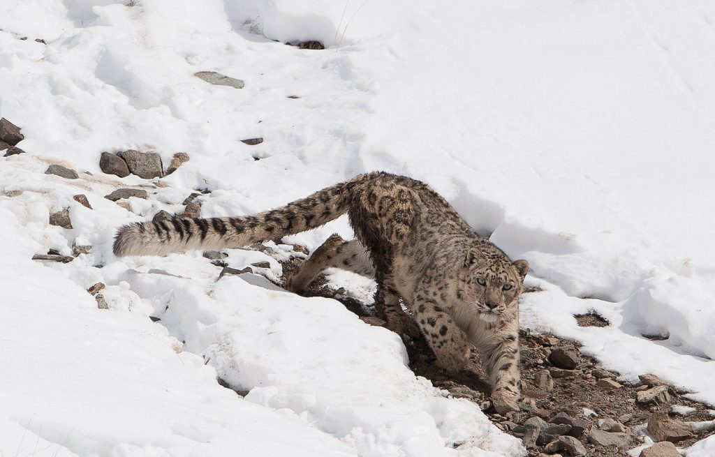 10 places to visit in india before they disappear snow leopard