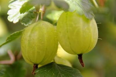 Increase-Hair-Density-gooseberries