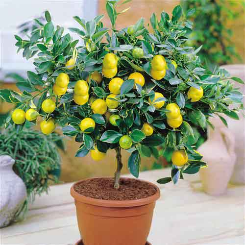 gift for mom lemon tree
